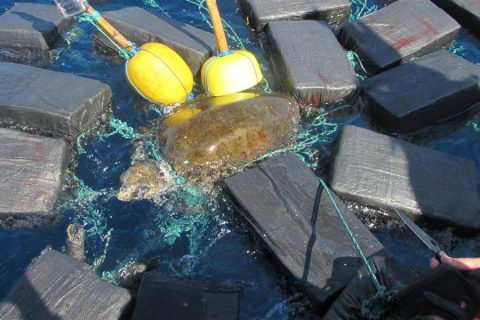 Loggerhead Sea Turtle Found Tangled Up in $53 Million Worth of Cocaine